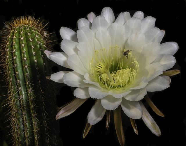 Night Blooming Cactus Flower And Pollinator Before Sunrise