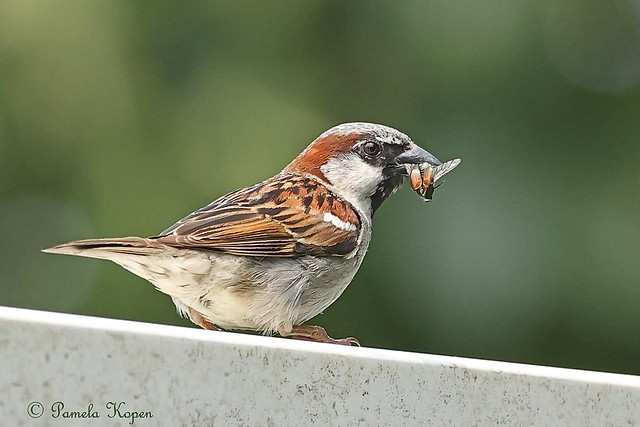 My hero! House sparrow with Popillia japonica, one of my very least favorite insects