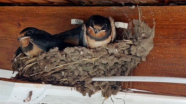 Resident Swallows at our house in Bulgaria. The cable clips were to help the nest hang on.