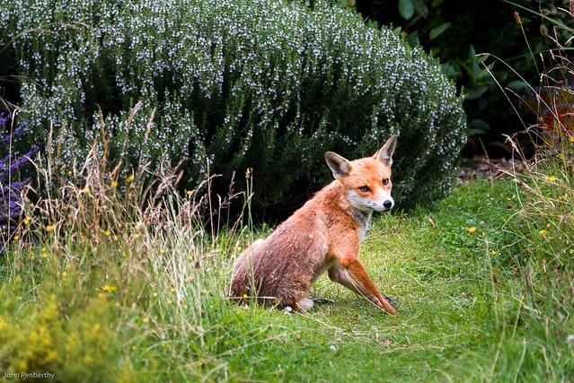 Bold Daylight Fox I