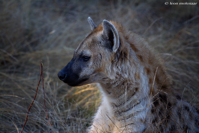 Spotted Hyena Teenager