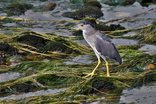 Bihoreau gris immature - Nycticorax nycticorax - Immature black-crowned night heron