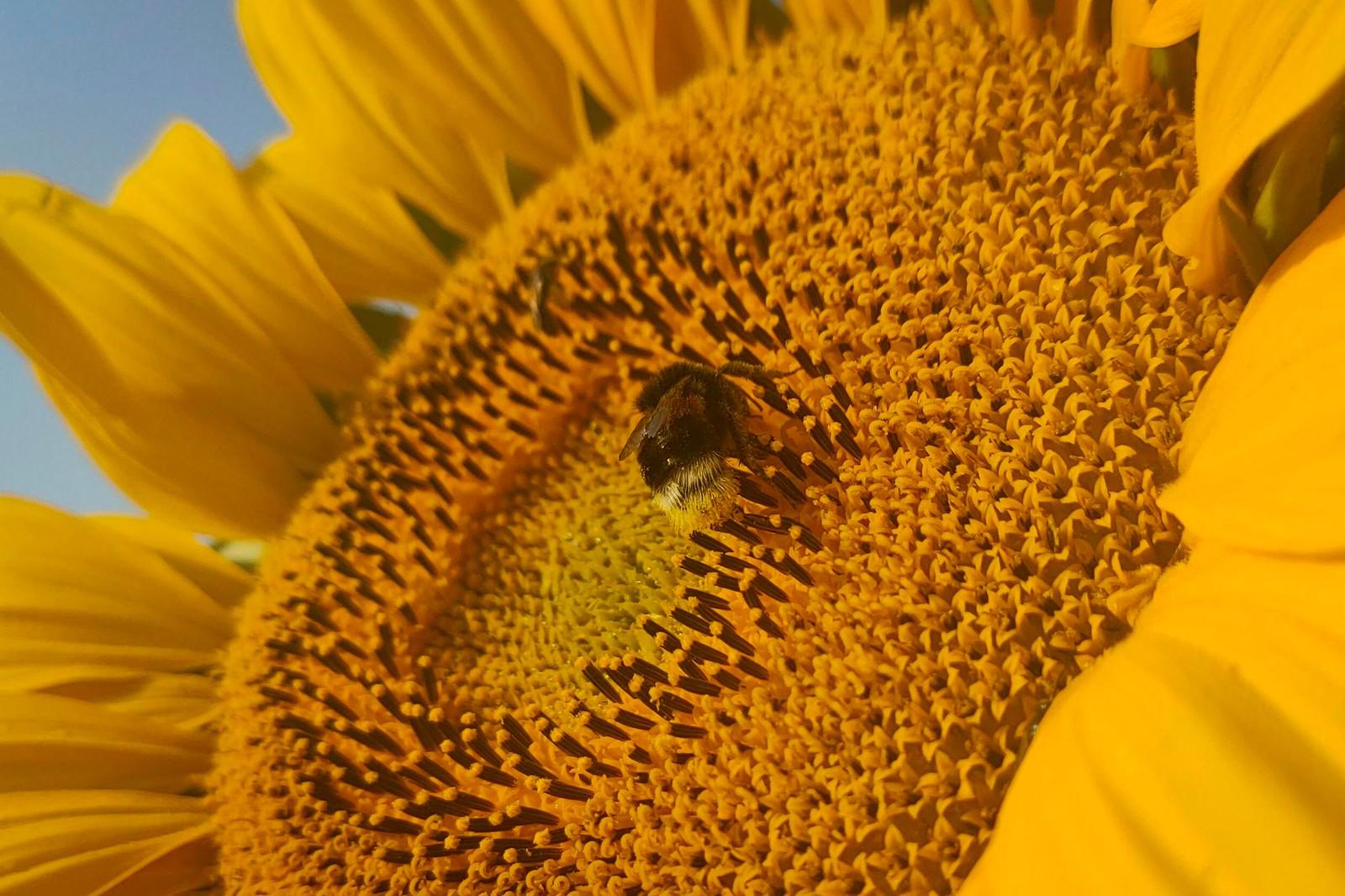 Sonnenblume mit Biene beim Morgenlauf über Selzen