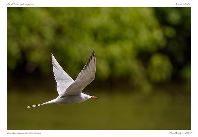 Le sterne pierregarin | Common tern