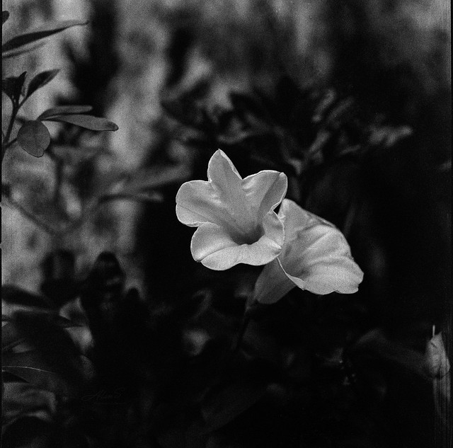 White Flower - film Hasselblad