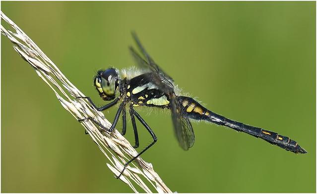 Black Darter (Sympetrum danae)  male