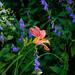Heather Rose daylily