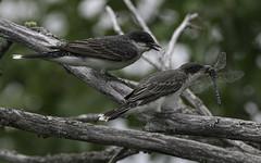 Eastern Kingbird Tyrannus tyrannus