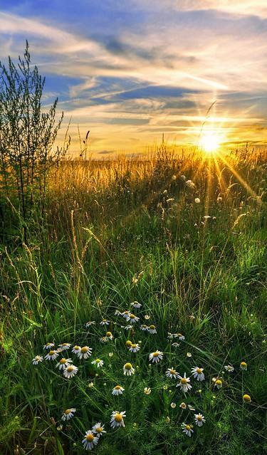 Marguerites Sunset...