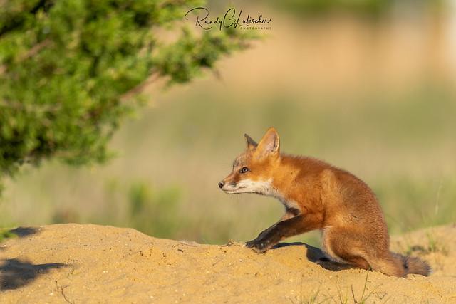 Red Fox | Vulpes Vulpes | 2021 - 48 [EXPLORED]