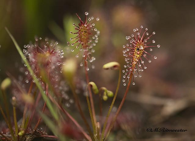 Kleine zonnedauw / Drosera intermedia