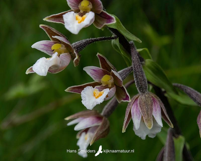 Moeraswespenorchis (Epipactis palustris)-850_4543