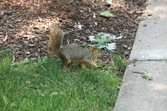 Fox Squirrels in Ann Arbor at the University of Michigan on July 21st, 2021