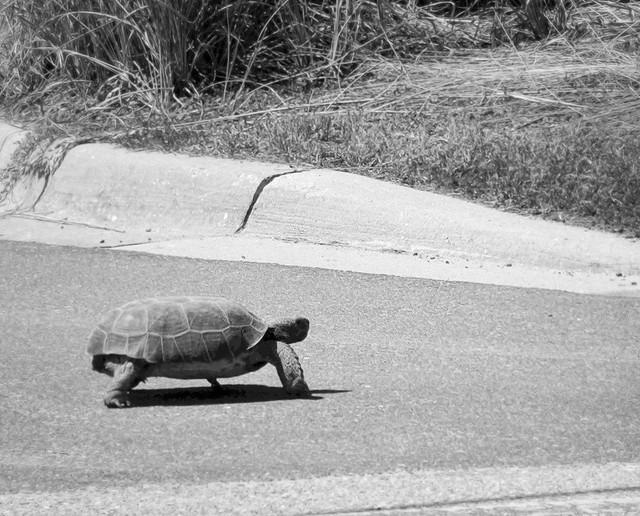 Slow   Turtle Crossing