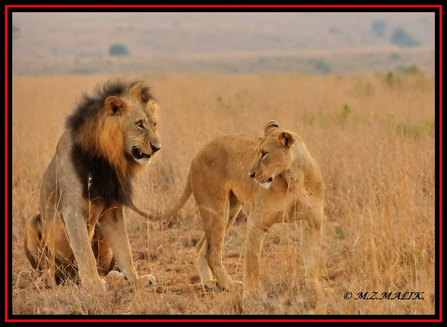 KING OF THE JUNGLE WITH HIS 'QUEEN' (Panthera leo).....NAIROBI NAT.PARK.....OCT 2013