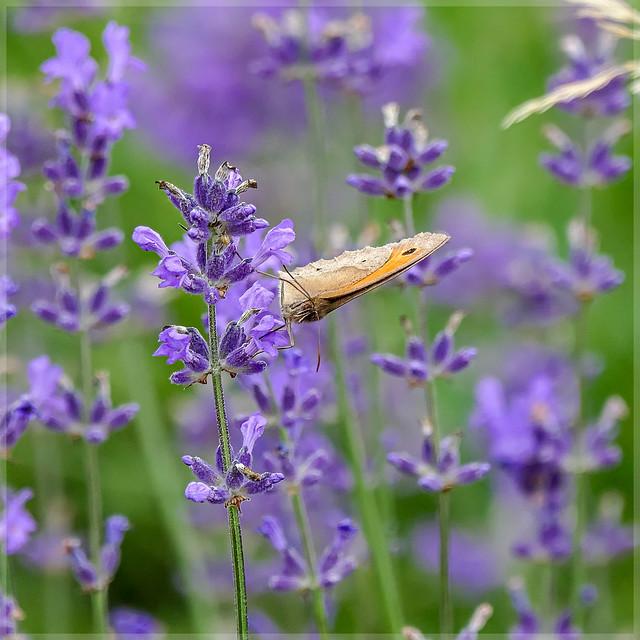 Nymphalidae-1200242