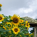 해바라기 sunflowers