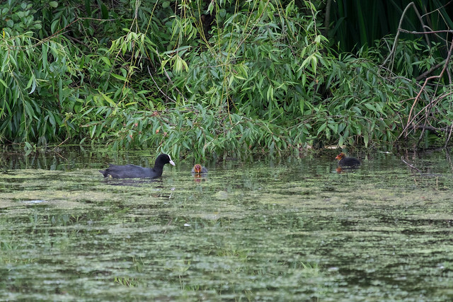 Coot and babies