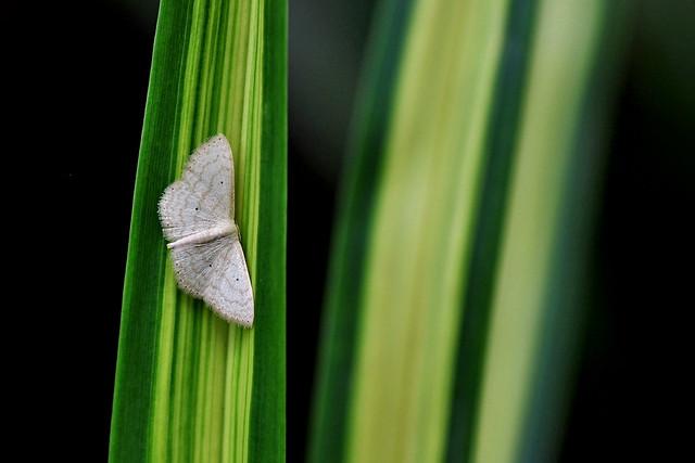 Lesser Cream Wave Moth (Scopula Immutata)