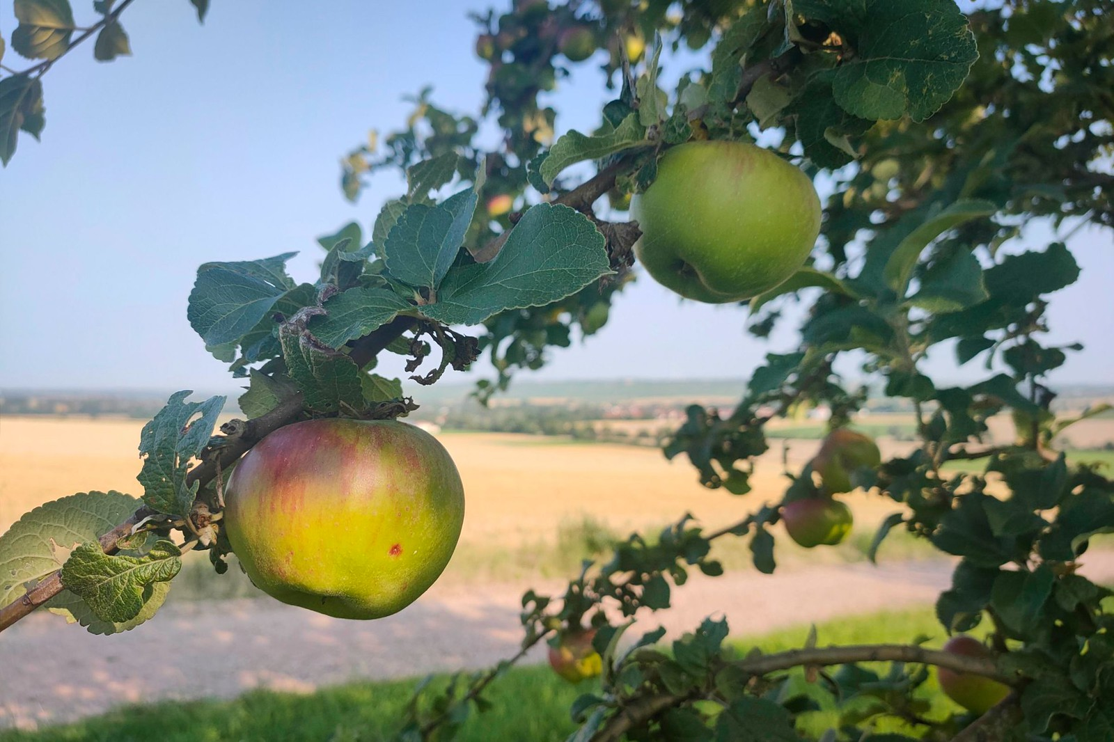 Äpfel am Obstbaum über Selzen