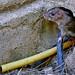 Rattus norvegicus- Rata parda