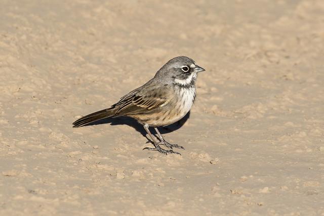 Bell's Sparrow, Artemisiospiza belli