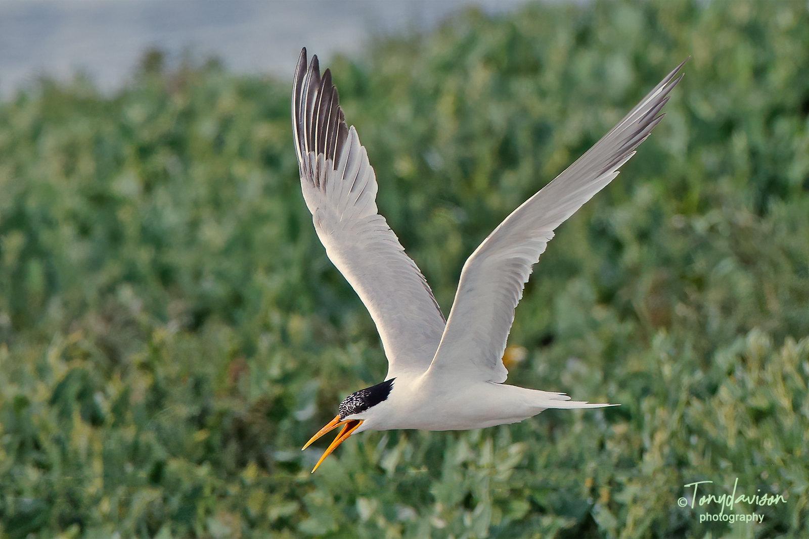 Elegant Tern - adult