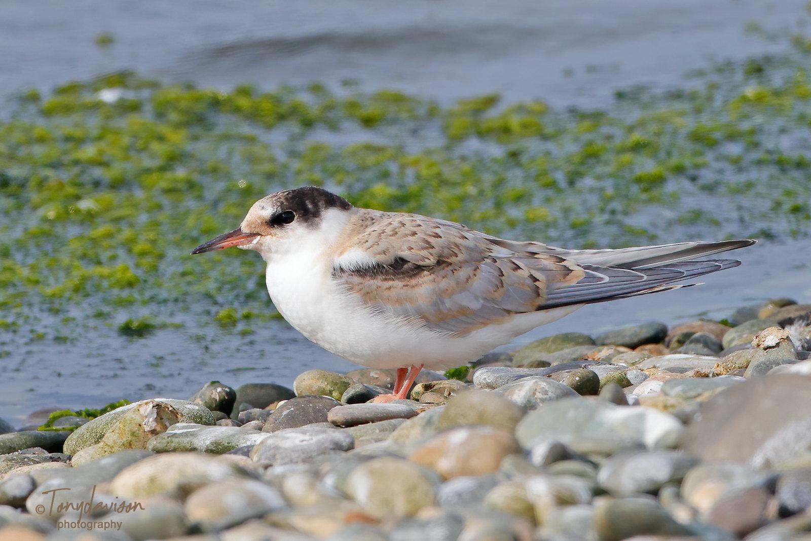 Common Tern - juvenile