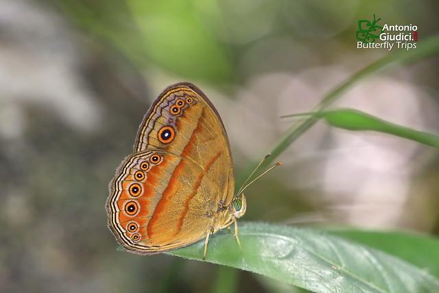 The Malayan Bush Brown ♂ - ผีเสื้อตาลพุ่มมลายู