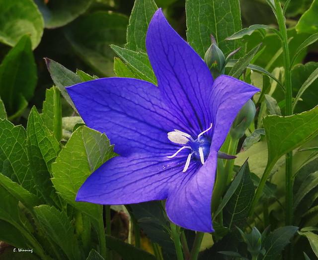Spreading Bellflower - Campanula patula 1926