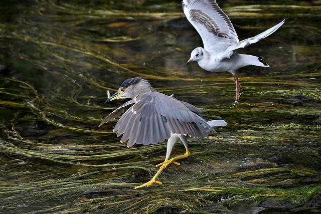 Bihoreau gris immature - Nycticorax nycticorax nycticorax - Immature black-crowned night heron