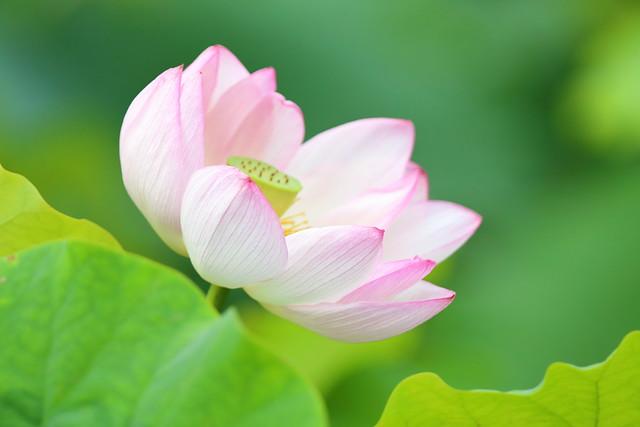 Lotus in the marsh