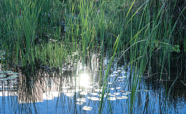 Morning Light in the Pond