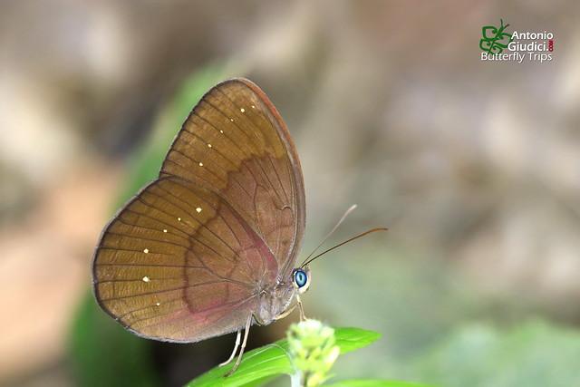 The Common Faun ♀ - ผีเสื้อป่าสีตาลไหม้