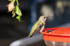 Anna's hummingbird profile