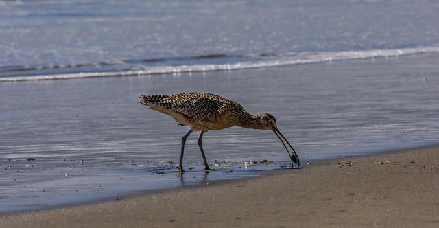 Long Billed Curlew with sand crab.