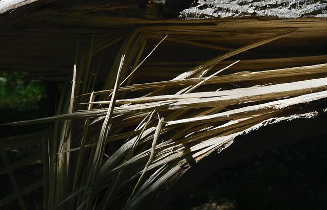 Das Eschensterben (Fraxinus excelsior); Bergenhusen, Stapelholm (1)