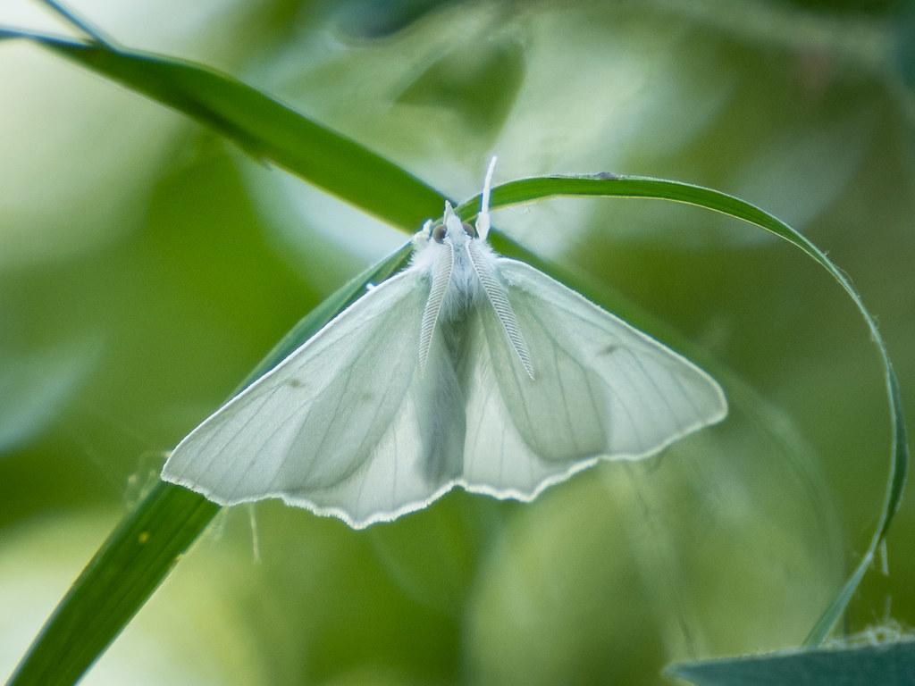 Elm Spanworm moth