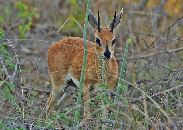 Male Steenbok Eating Under Dense Cover (Raphicerus campestris)