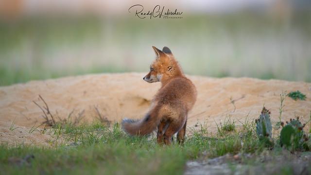 Red Fox | Vulpes Vulpes | 2021 - 49
