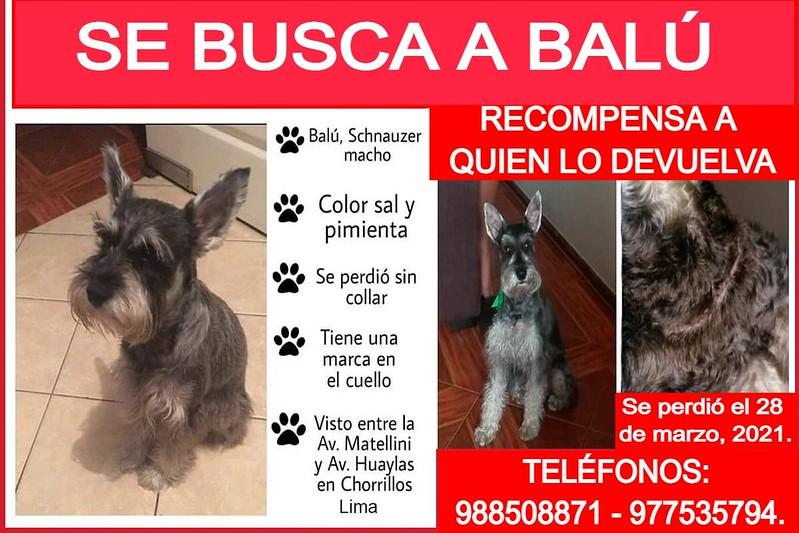 Se busca a Balú. Se perdió en Chorrillos, Lima