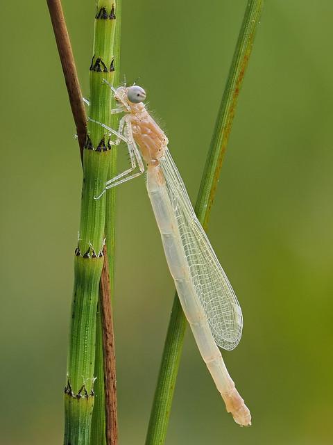 Frisch geschlüpfte Grosse Pechlibelle - Ischnura elegans