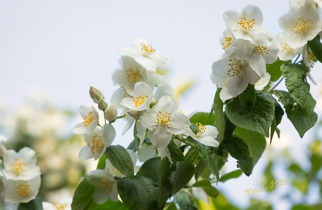 Jasmin Blossoms from my Garden - 2021