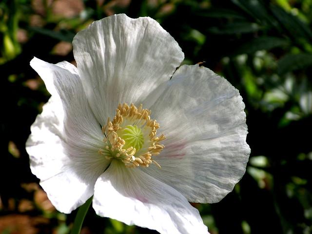 Rosella blanca / White poppy
