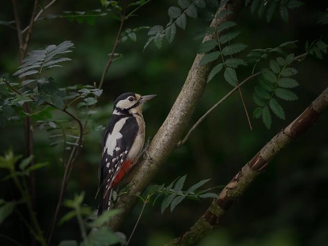 Great Spotted Woodpecker (f) - Buntspecht (f)