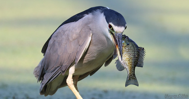 Black-crowned Night Heron with Bluegill
