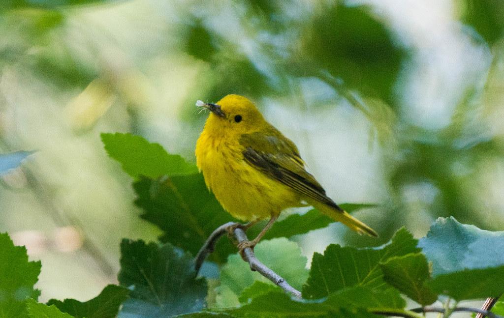 Yellow warbler (1 of 1)