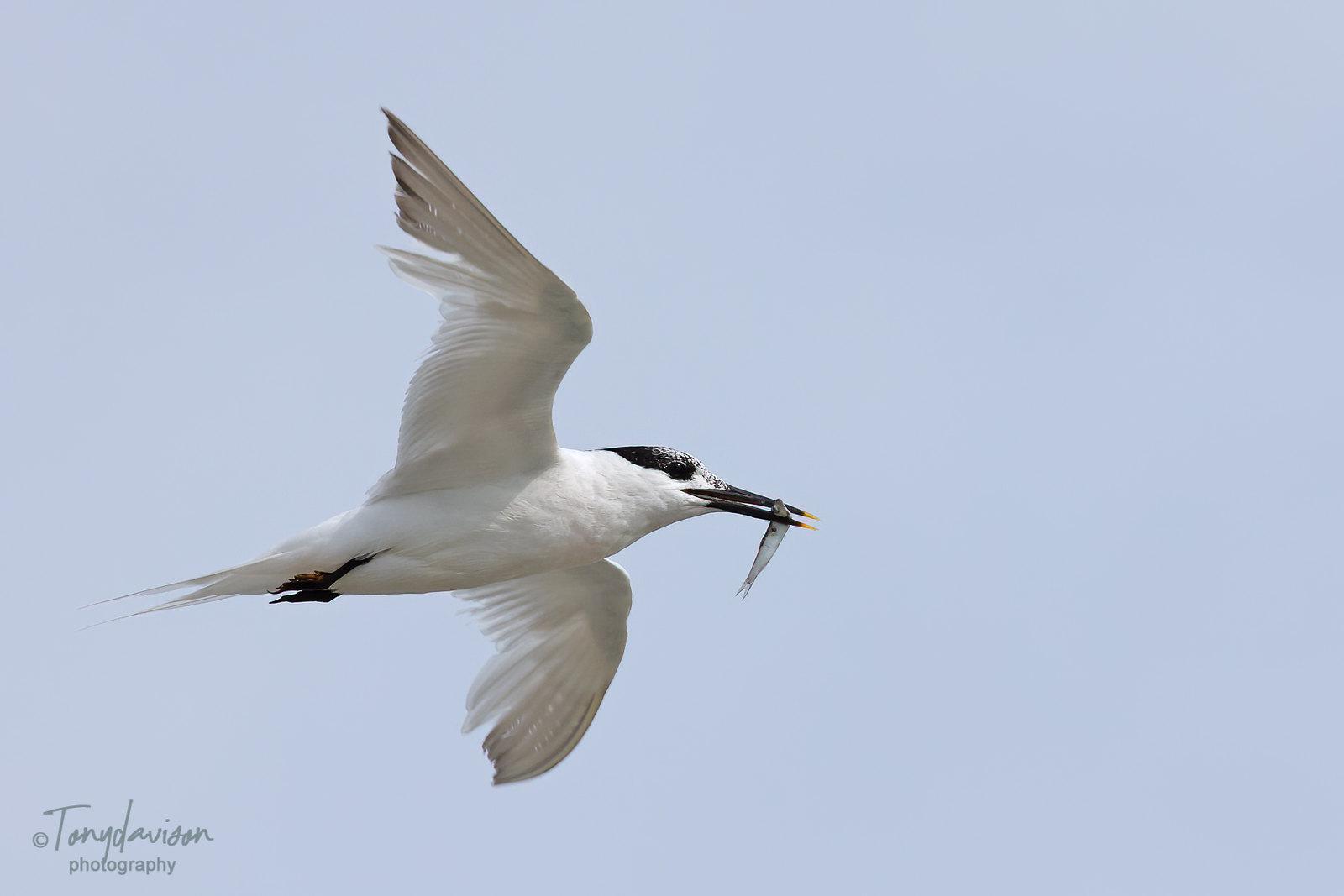 Sandwich Tern - adult