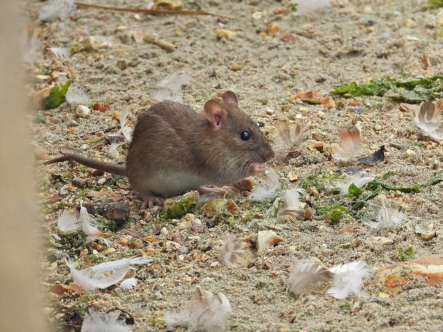 Brown Rat, Titchfield Haven, Jun 30 2021, P1 (21)