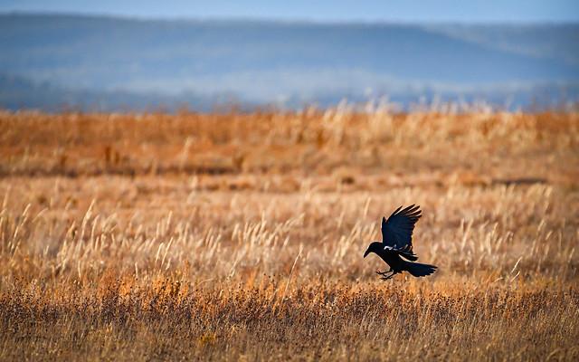 Raven Taking Refuge